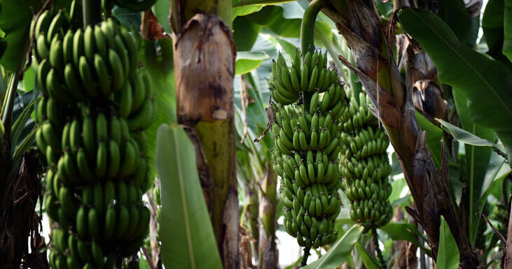 Turkey seeks to achieve self-sufficiency in banana production by 2023