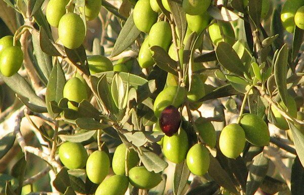 Turkish olive oil exports to 113 countries